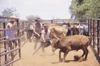 bull catching  and muster