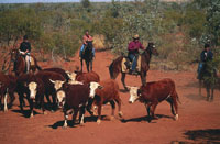 Outback cattle mustering