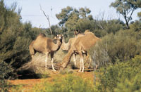 Camels in Kings Creek Station